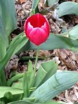 blog tulip