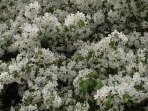 blog white flowers