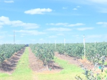 blueberry field 2